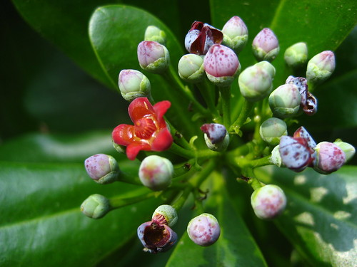 Cinnamon Flower Buds