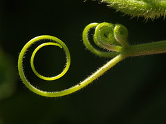 Pumpkin Tendril (gripspix (OFF)) Tags: macro green garden pumpkin tendril