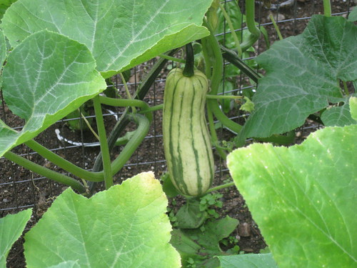 Heirloom Squash Delicata