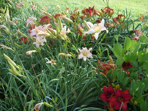 Luxury Lace daylily & others