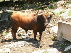 Dissabte 23, Nº13, guarisme 4, de nom Cordonero, color colorado carinegro, de la ramaderia de Sergio Centelles Badal de Ares.