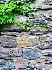 ivy on wall (alan shapiro photography) Tags: 2010alanshapiro alanshapirophotography wwwalanwshapiroblogspotcom 2010alanshapirophotography