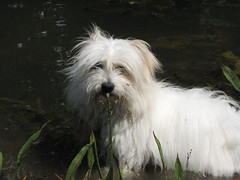Looking for other froggies ^__^ (moniketta) Tags: dog white nature cane natura coton midi bianco cotondetulear midnightkiss