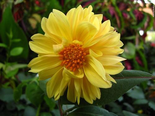 Yellow Flower W Orange Center A Photo On Flickriver