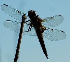 Dragonfly Silhouette (rr_rocketman) Tags: nature naturesfinest 123nature platinumphoto aplusphoto amazingshots heartawards naturewatcher naturewatchers happinessconservancy rrrocketman ilovemypics