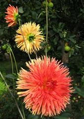 Sommer-Ampel (langkawi) Tags: dahlia flowers summer colors garden moms heat langkawi ampel farben hitze dahlie naturesfinest bej abigfave