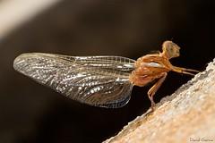 Duendecillo (Popewan) Tags: photoshop dragonfly libelula duende naturesfinest