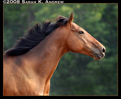 King of the Wind (Rock and Racehorses) Tags: horse heritage history beautiful wow play muscle profile handsome diego run foundation explore arabian breed barb stallions darley thoroughbred tb turk sculpted gallop catchlight godolphin byerly margueritehenry byerley anawesomeshot impressedbeauty lookofeagles photoofhorsegalloping flyingmane historyofthethoroughbred kingofthewind