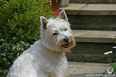 Mitzi the Westie - A Relaxed Dog