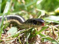 Snake Wilflife (Sachin Tomar's) Tags: snakesofindia indiansnakesindiansnakes typesofindiansnakes snakeinindia