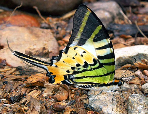 Aceh butterfly