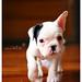 子犬:Lolla