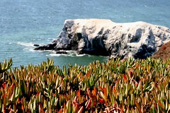 Ice Plants (John Pearson) Tags: ocean sanfrancisco ca trip travel blue beach water canon photography eos photographer image stock photograph rv txi headland ajp library licensed photo bank 5photosaday photography for sale image john rights pearson reserved free stock release royalty ajpcmr authorjohnpearson