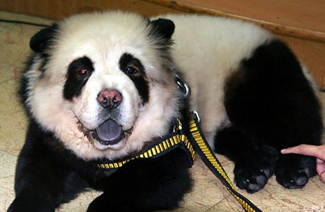 Perro Chow Chow Panda (la moda de teñir el pelaje de las mascotas)