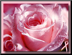 PINK ROSE WITH RAIN FOR THE CURE