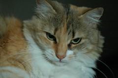 GRIFIS... (virgiliomulas.) Tags: de y no gatos perros amore gatta raza curiosità virgiliocompany vg~catsgallery