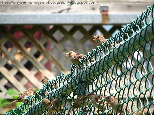 Sparrows singing their morning song