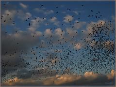 22okt08: een zwerm spreeuwen boven Ypelo. (guus timpers) Tags: sky bird clouds vogels twente starlings spreeuwen zwerm ypelo