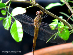 Dragonfly (mang M) Tags: friends macro insect dragonfly soe iloveit golddragon eliteimages goldstaraward rubyphotographer mangmaning2000 flickrsmasterpieces
