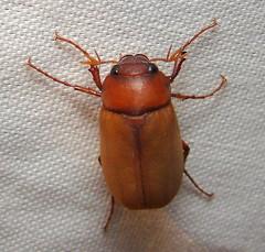 Junebug in September (Anita363) Tags: fauna insect newjersey beetle nj september highlandpark dorsal junebug incandescent unidentified coleoptera maybeetle junebeetle scarabaeidae melolonthinae phyllophaga polyphaga scarabaeoidea melolonthini