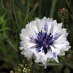 White Flower thumbnail