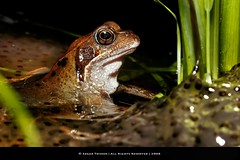 Reflection (Edgar Thissen) Tags: nature pool wildlife frog tadpoles spawn blueribbonwinner edgarthissen 34259 specanimal mywinners