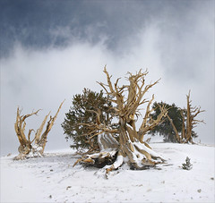 Endurance (walking along) Tags: snow whitemountains greatbasin bristleconepine inyonationalforest g9 3xstitch