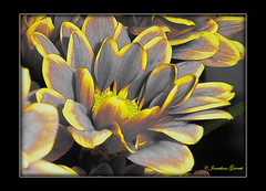 Glowing Daisies (Jongarrett777) Tags: fineartphotos platinumphoto diamondclassphotographer theperfectphotographer goldstaraward