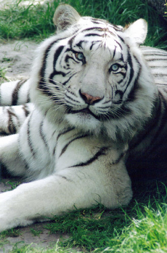 white lions and tigers. WHITE TIGER