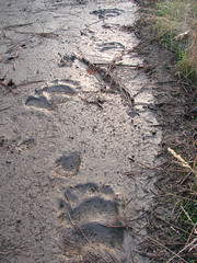 bear tracks in fresh mud