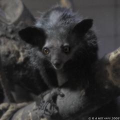 Aye-aye (gentle lemur) Tags: ayeaye daubentoniamadagascarensisedinburghzoo