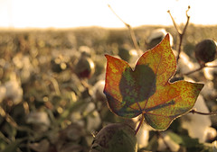 Cotton Leaf (Tylersierp) Tags: sepia leaf dof depthoffield shallow cottonfield postprocessing nikond40