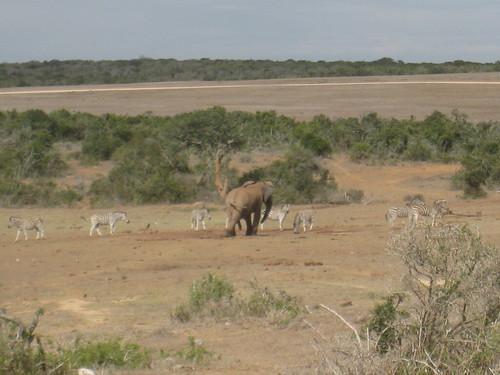 An elephant amongst the zebra