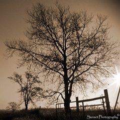 Tree with Fence Sepia (Sunset Photography) Tags: morning november usa sun tree fall minnesota sepia rural photoshop vintage fence lens midwest photographer farm olympus flare jody amateur mn doityourself hotornot dyi cs3 southernminnesota photographyrocks sunsetphotography flickraward sp550uz flickrrose landscapesofvillagesandfields canonrebelxsi monkeyawards dragonflyaward jodynewman