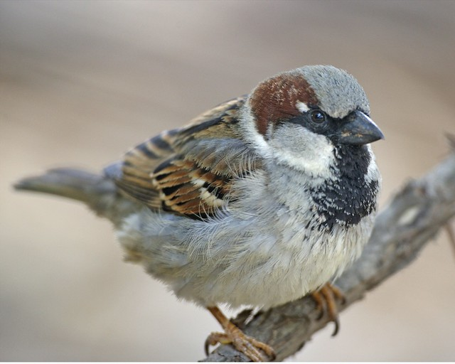 Passer domesticus male