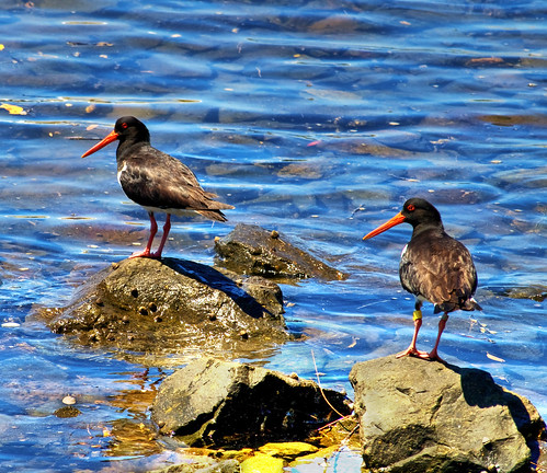 Pied Oystercatchers by you.