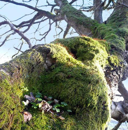 Moss on tree 27Nov08