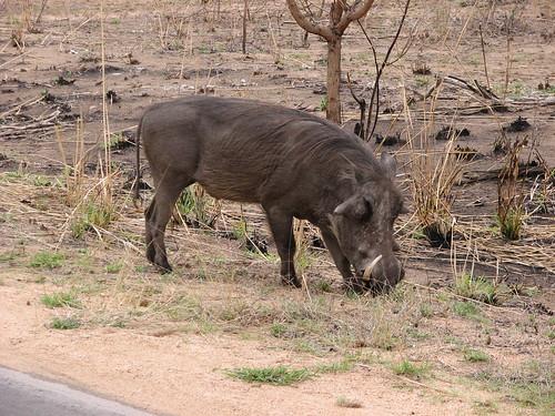common warthog. common warthog.
