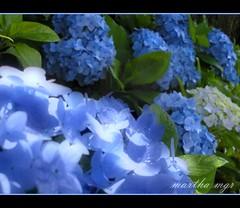 HORTNCIAS (Martha MGR) Tags: blue nature azul brasil flor paisagem bleu landscaps millefiori camposdojordo flres naturesfinest mmgr hortncias flickrsbest goldenheartaward marthamgr marthamariagrabnerraymundo marthamgraymundo
