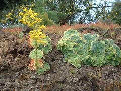 Greenovia_aurea_ (bramwellii) Tags: grancanaria viajes crassulaceae aeonium