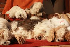 where is the real dog part two (dewollewei) Tags: old english cane dragon sheepdog awards dagger bobtail oes oldenglishsheepdog sheepdogs oldenglishsheepdogs viejopastoringles παλιά goldstaraward σκύλοσ dewollewei dragondaggeraward αγγλικά τσοπανόσκυλο