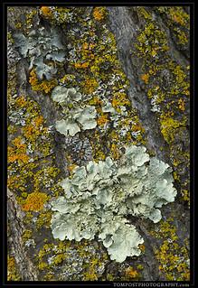 Lichen on Oaks