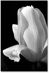Tulipe - passage en dsaturation (niveaux de gris) (Vronique Delaux On/Off) Tags: bw plant flower macro fleur plante montpellier nb mai tulip 2010 tulipe chevreuse photographe yvelines vgtal vroniquedelaux cratitudesnolimits vroniquedelaux delaux photographemontpellier