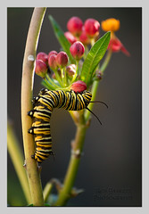 monarch003 (Rob Haskett Photography) Tags: orange white flower purple rob caterpillar monarch 500d quarrypark haskett tepuna 55250mmefs t1i