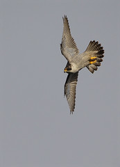 Peregrine3 (Neil O'Reilly) Tags: ireland dublin bird animal raptor falcon hunter prey fastest peregrine peregrine2