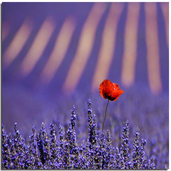 The loved intruder (Nespyxel) Tags: flowers red france field focus dof lavender depthoffield poppy campo provence fiori francia depth intruder lilla provenza lavanda papavero flowerscape valensole intruso idream colorphotoaward nespyxel stefanoscarselli campidilavanda saariysqualitypictures fleursetpaysages llitedespaysages aboveandbeyondlevel1