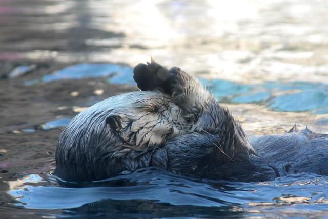 Sea Otter, Monterey