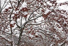 Snow Day 2/22/08 (NYBG) Tags: new york nyc winter snow weather garden botanical bronx snowstorm m nybg ivo vermeulen 22208