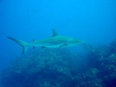 Bimini - Carribean Reef Shark (mattk1979) Tags: shark sailing carribean scuba diving bahamas reef bimini