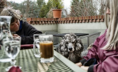 A Conversation with Mercury (The Pack) Tags: dog silver lunch mercury patio poodle standard ashland chai standardpoodle pinkshoe 20mmf18 artbeco karenphillips oregontata thepack:a=1